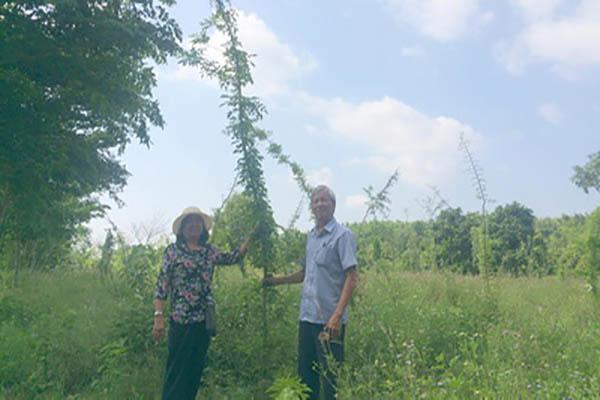 Kỹ sư Lê Văn Thứng theo dõi sự phát triển của cây trắc - Ảnh: THÁI HÀ