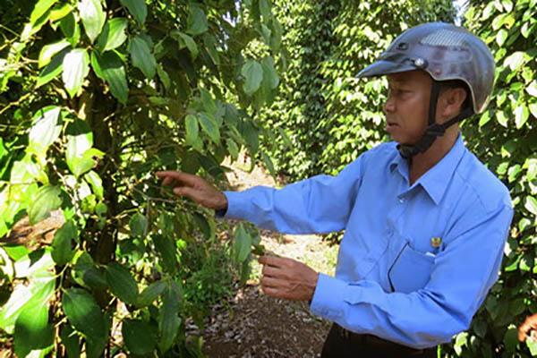 Cán bộ kỹ thuật Công ty Cổ phần Vinacafe Sơn Thành kiểm tra bệnh trên cây tiêu - Ảnh: T.Tiên