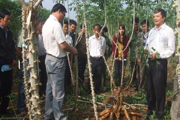 Chuyển giao kỹ thuật trồng giống sắn mới đạt năng suất cao cho nông dân huyện Sông Hinh - Ảnh: VĂN THÙY
