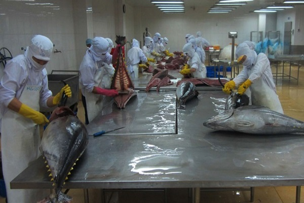 Chế biến cá ngừ đại dương tại DNTN Hồng Ngọc - Ảnh: V.PHÊ