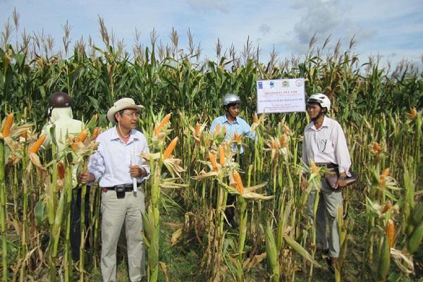 Mô hình trồng bắp lai thích ứng với biến đổi khí hậu ở xã Xuân Quang 2 (huyện Đồng Xuân) mang lại hiệu quả kinh tế cao - Ảnh: CTV