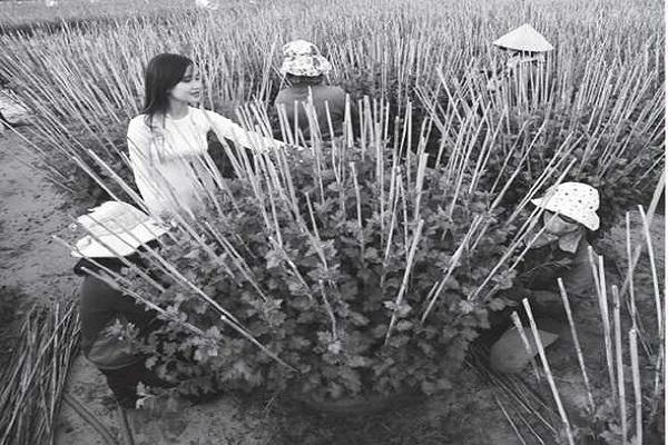 Người dân làng nghề trồng hoa ở Phước Hậu (P.9-TP Tuy Hòa-Phú Yên) chăm sóc hoa Cúc vàng, chuẩn bị bán hoa tết. Ảnh: Mỹ Bình