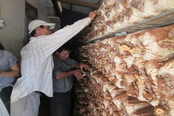 Mô hình trồng nấm góp phần phát triển kinh tế hộ ở xã Bình Kiến - Ảnh: Văn Vũ