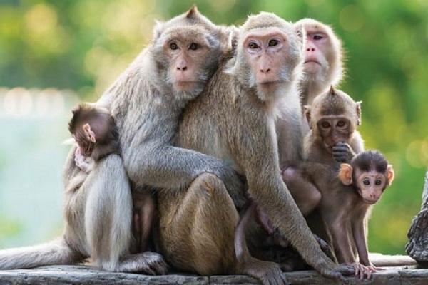 Loài khỉ với ngành y dược