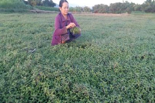 Mô hình trồng rau răm cho thu nhập cao ở huyện Đồng Xuân, tỉnh Phú Yên