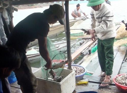 Nuôi cá chẽm ở lòng hồ thủy điện Sông Hinh: Giúp người dân tăng thu nhập, ổn định cuộc sống