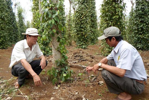 Ông Nguyễn Hoài Sơn (trái), nguyên Chủ tịch Liên hiệp Hội Phú Yên kiểm tra mô hình tưới nước tự động nhỏ giọt tại Công ty CP Vinacafe Sơn Thành - Ảnh: THÁI HÀ