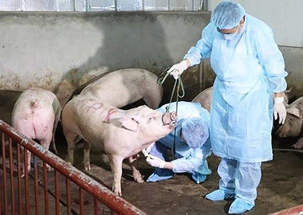Bộ Khoa học Công nghệ duyệt dự án sản xuất vắcxin tả lợn châu Phi