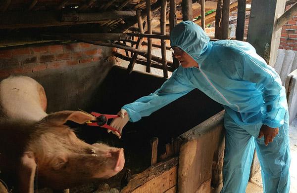 Cán bộ thú y bấm thẻ tai cho heo đực giống tại một hộ chăn nuôi ở Tỉnh
