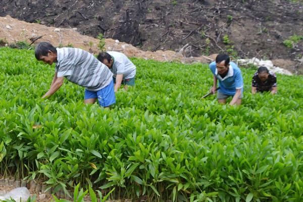 Công ty TNHH MTV Bảo Châu Phú Yên tổ chức chăm sóc vườn cây giống lâm nghiệp để triển khai trồng rừng. Ảnh: ANH NGỌC