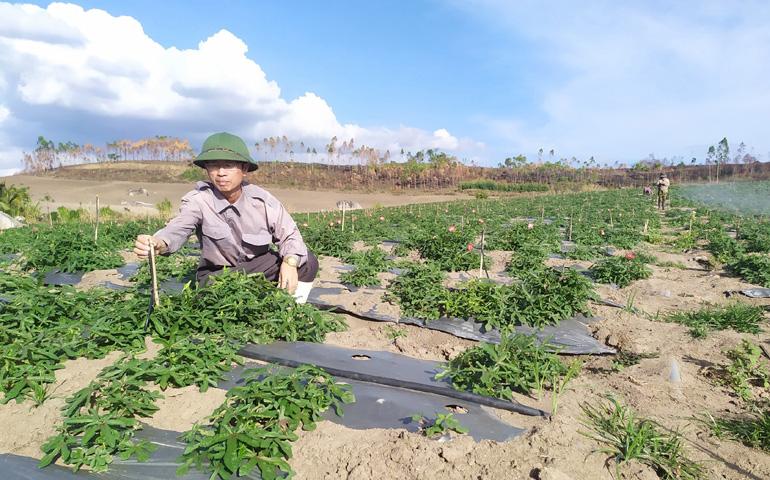 Ông Cao Minh Thơ (xã Ea Ly, huyện Sông Hinh) chăm sóc vùng trồng nhân sâm Phú Yên rộng 2ha của gia đình. Ảnh: THÁI HÀ