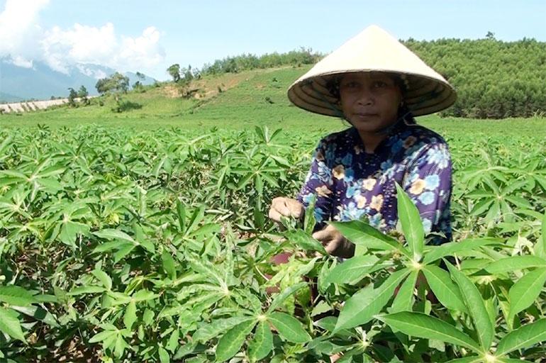 Rẫy sắn của Mí Thuân ở thôn Ea Ngao, xã Sông Hinh (huyện Sông Hinh) bị nhiễm bệnh khảm lá. Ảnh: VĂN THÙY
