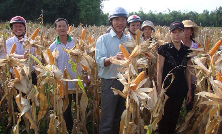 Nông dân tham gia mô hình sản xuất bắp lai F1 NK7328 tại xã An Dân (huyện Tuy An). Ảnh: CTV