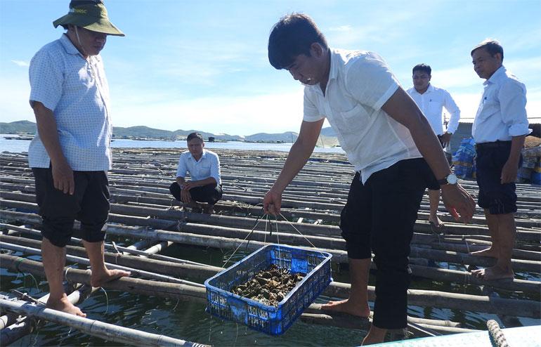 Mô hình nuôi hàu Thái Bình Dương tại TX Sông Cầu mang lại thu nhập ổn định cho người dân. Ảnh: THÁI HÀ