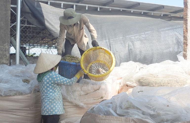 Nông dân Tây Hòa ủ chua bắp. Ảnh: THÁI HÀ