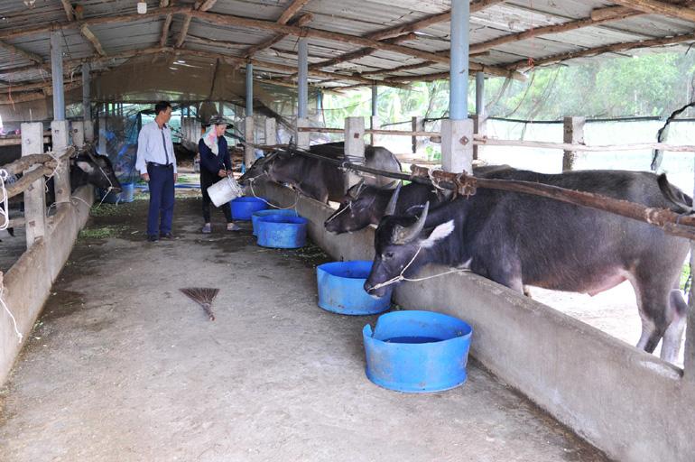 Mô hình nuôi trâu, bò vỗ béo của gia đình ông Trương Đình Quý. Ảnh: ANH NGỌC