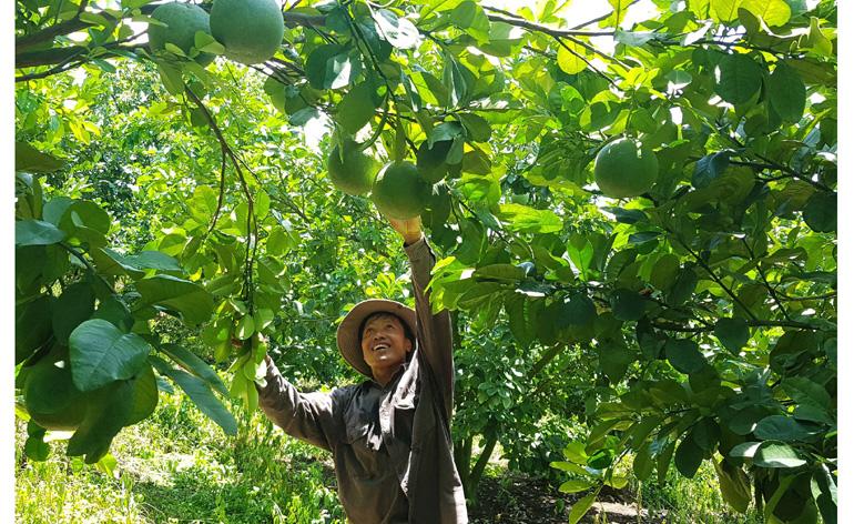 Vườn cây ăn quả của ông Võ Minh Tuấn ở thị trấn Hai Riêng, huyện Sông Hinh. Ảnh: NGÔ XUÂN