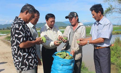 Tiêu thụ nông sản vẫn là khâu yếu của các HTX. Trong ảnh: Mô hình sen tại HTX Hòa Hiệp Bắc, huyện Đông Hòa - Ảnh: MINH DUYÊN